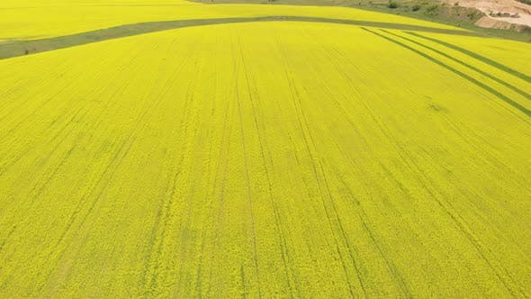Thumbnail for Blooming Rapeseed Field