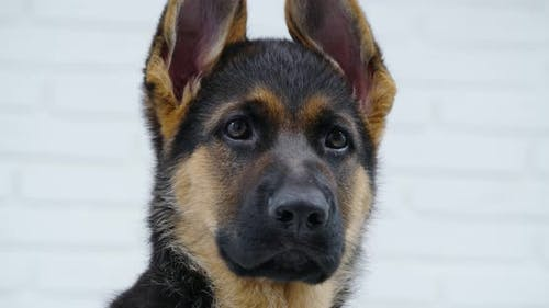 German Shepherd Puppy Isolated Over White Background
