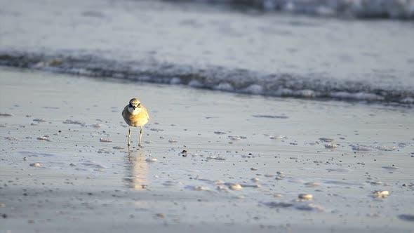 Thumbnail for Wildlife Plover Bird
