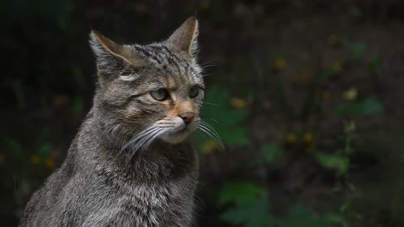 Thumbnail for European wildcat portrait close up