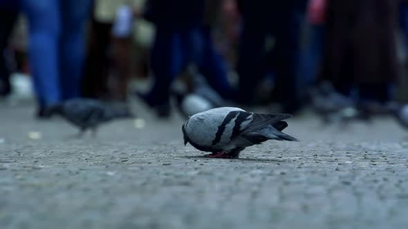 Thumbnail for Slowmotion View on Pigeons Which Pecks on Road.