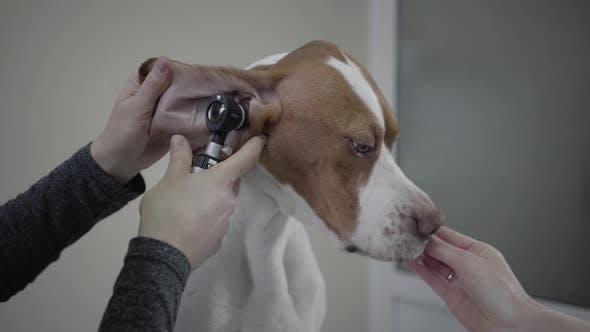 Thumbnail for Close Up Hands of the Doctor Examining Ear of Big Pointer Dog with Brown Spots While Owner Feeding