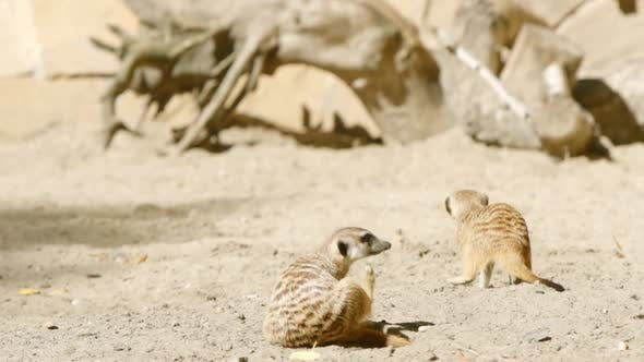 Thumbnail for Meerkat Scratches On A Sand