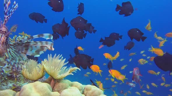 Thumbnail for Colorful Fish Garden and Lionfish