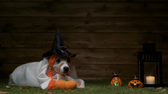 Thumbnail for Dog Jack Russell Terrier In Witch Costume For Halloween Holiday