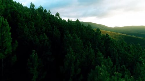 Aerial Top Down View of Green Pine and Spruce Conifer Treetops Forest in the Autumn. 4K Video