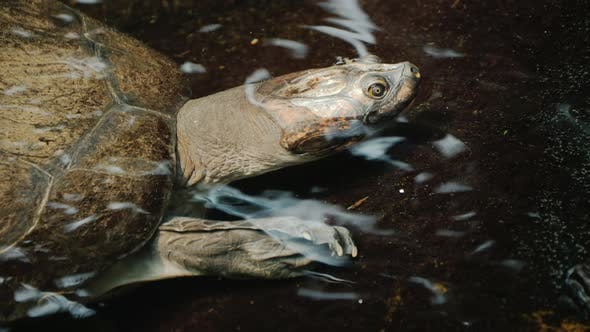 A Large Turtle in the Water, Visible Head and Armor Shell