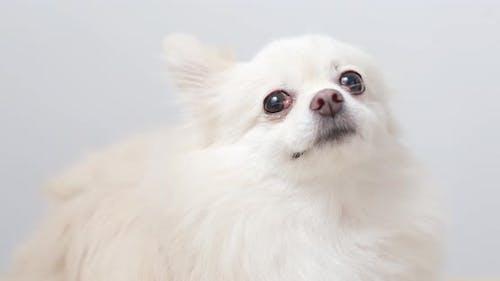 Pomeranian dog licking