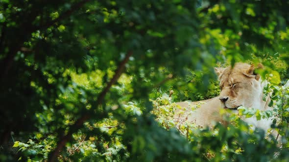 Thumbnail for Female Lion Resting Among the Trees