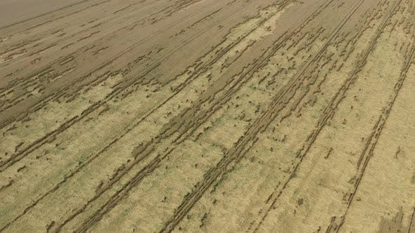 Ascending over the wheat crop after heavy rain with plants on the ground 4K drone footage