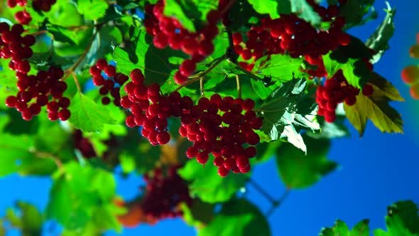 Thumbnail for Wind Shakes Branches of Red Viburnum Against Blue Sky