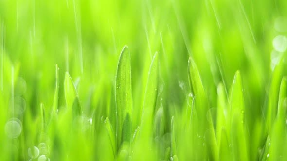 Thumbnail for Fresh Green Grass with Rain Drops Field of Young Wheat Rye Closeup Nature Macro