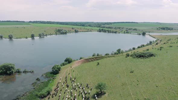 Thumbnail for Shepherd leads herd of cows to watering place at lake, aerial drone view