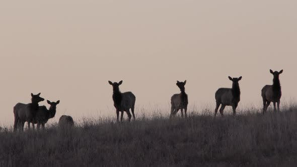 Thumbnail for Elk Cow Female Adult Herd Many Alarmed Nervous Wary in Spring Dawn Morning Ridge Silhouette