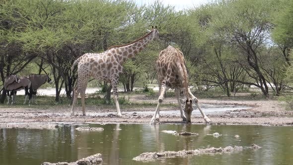 Thumbnail for Two giraffe drinking from a waterpool