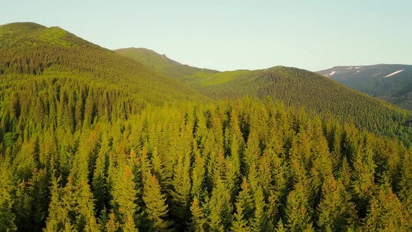 Aerial View Flight The Mountains are Covered with Green Christmas Trees in the Early Morning of