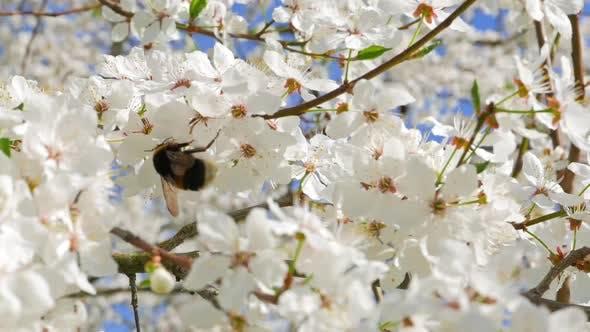 Thumbnail for Bee Apple Flower