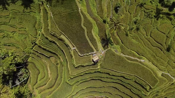 Thumbnail for Above Rice Terraces