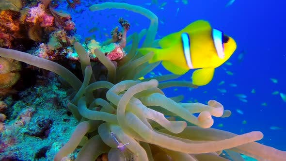 Thumbnail for Sea Anemones with Underwater Colorful Clownfish