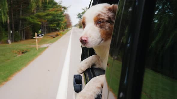 Thumbnail for The Australian Shepherd of a White-brown Color Looks Out of the Window of the Car