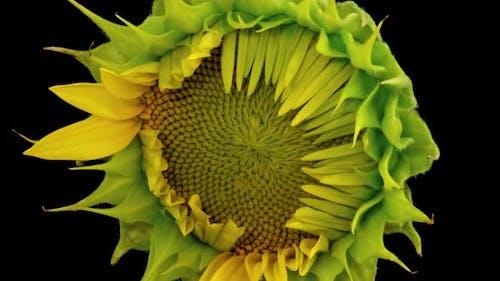 Sunflower Head Opening Timelapse on Pure Black