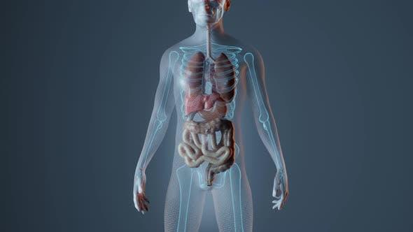 Anatomy of Heart in Male Body