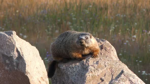 Cover Image for Yellow-bellied Marmot Resting Looking Around on Rock in Bighorn Mountains