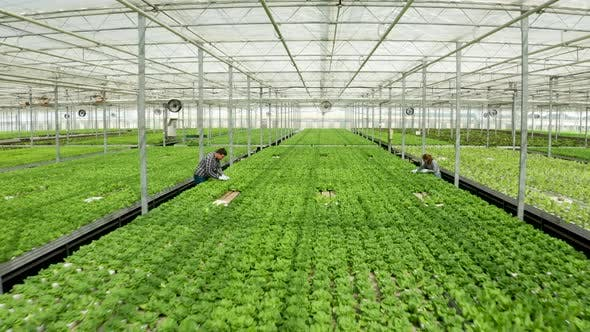 Thumbnail for Aerial View in a Greenhouse with Farmers