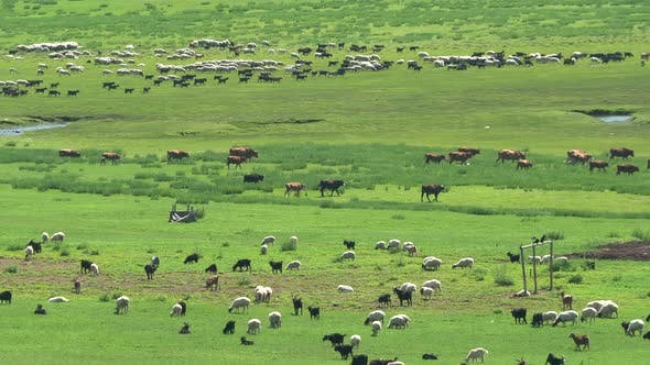 Thumbnail for Herds of Mixed Livestock Grazing in the Vast Plain