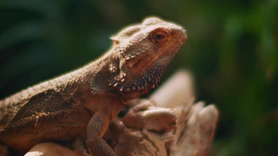 Thumbnail for Bearded dragon, also known as Pogona, sitting on a tree branch.