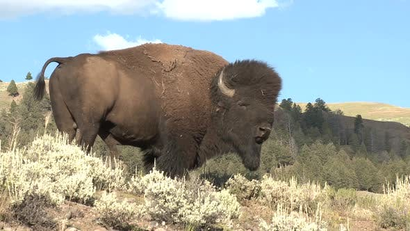 Thumbnail for Bison Bull Adult Lone Standing in Summer Majestic Regal Prime in Yellowstone National Park Wyoming
