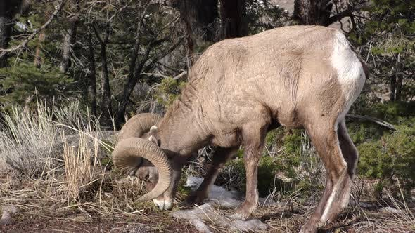 Thumbnail for Bighorn Sheep Ram Male Adult Lone Eating Grazing in Autumn