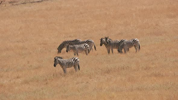 Thumbnail for Group of Demara Zebra at wildlife park
