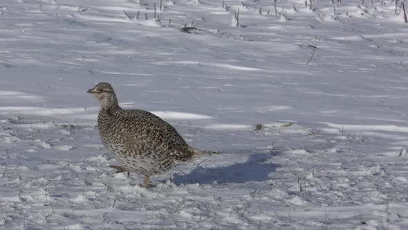 Thumbnail for Sharp-tailed Grouse Bird Walking Moving in Winter Snow in Great Plains