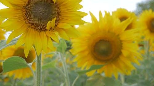 Rack focus of sun flowers