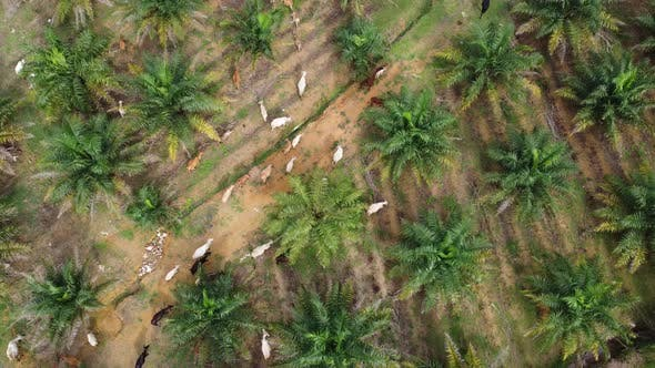 Aerial view group of cows walk in oil palm
