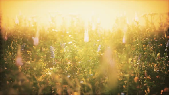 Thumbnail for Wild Field Flowers at Summer Sunset