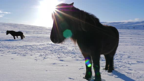 Thumbnail for Iceland Snow Covered Land With A Brown Icelandic Horse On A Sunny Day 1