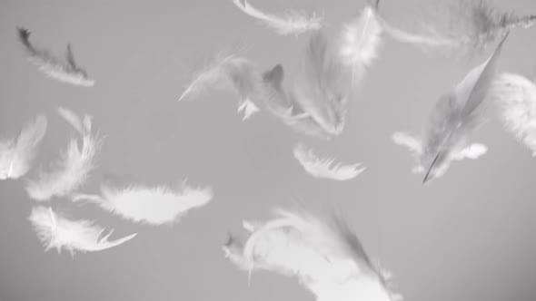 Thumbnail for White Feathers Flying in the Wind and Falling Down Clean Background