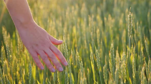 Thumbnail for The Hand of an Young Woman Looks at the Spikelets of Green Wheat. Beautiful Glare of the Sun
