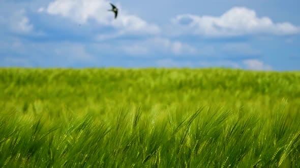 Grünes Agrarfeld