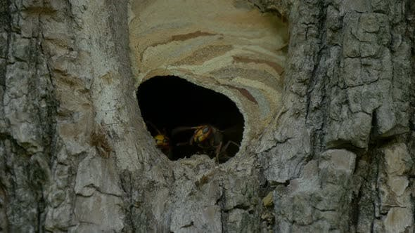 Hornet Fly Out Nest Slow Motion