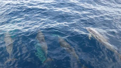 Pod of Dolphins in Freedom Pacific Ocean Blue Water
