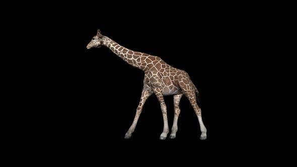 Thumbnail for Giraffe Walk