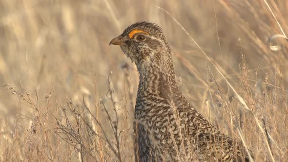 Thumbnail for Sharp-tailed Grouse Cock Male Adult Lone Looking Around in Spring