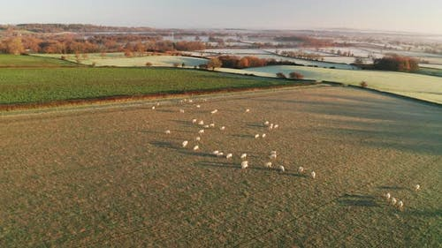 Aerial drone video of Sheep in fields on a farm in rural countryside farmland scenery, with green fi