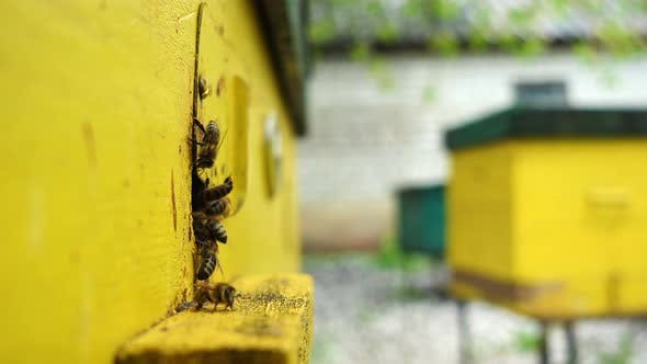 Bees Flying In And Out Beehive