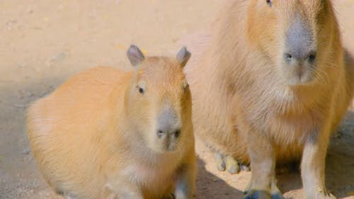 Capybaras Resting in the Yard