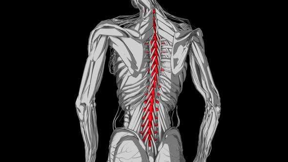 3d Sketch Female Backbones