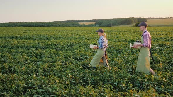 Two Farmers with Boxes of Vegetables Are Walking Along the Green Field. Family Agribusiness Concept